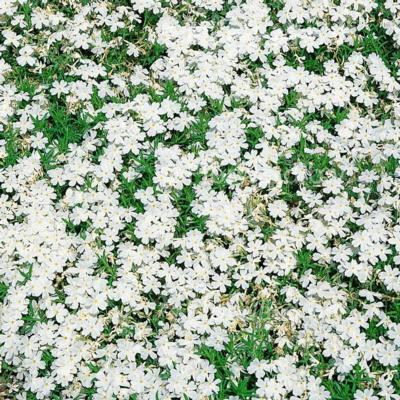 Phlox subulata 'White Delight'