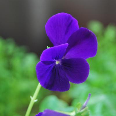 Viola 'Martin'