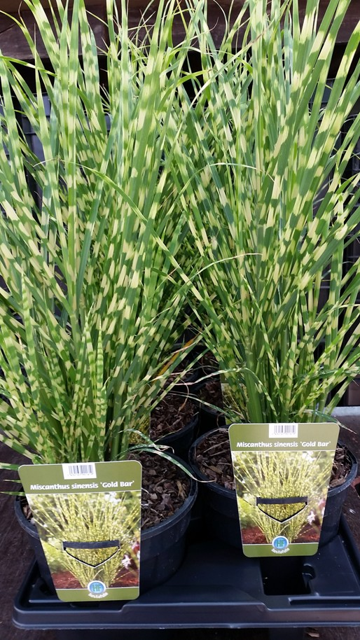 Miscanthus 'Gold Bar' 2 L