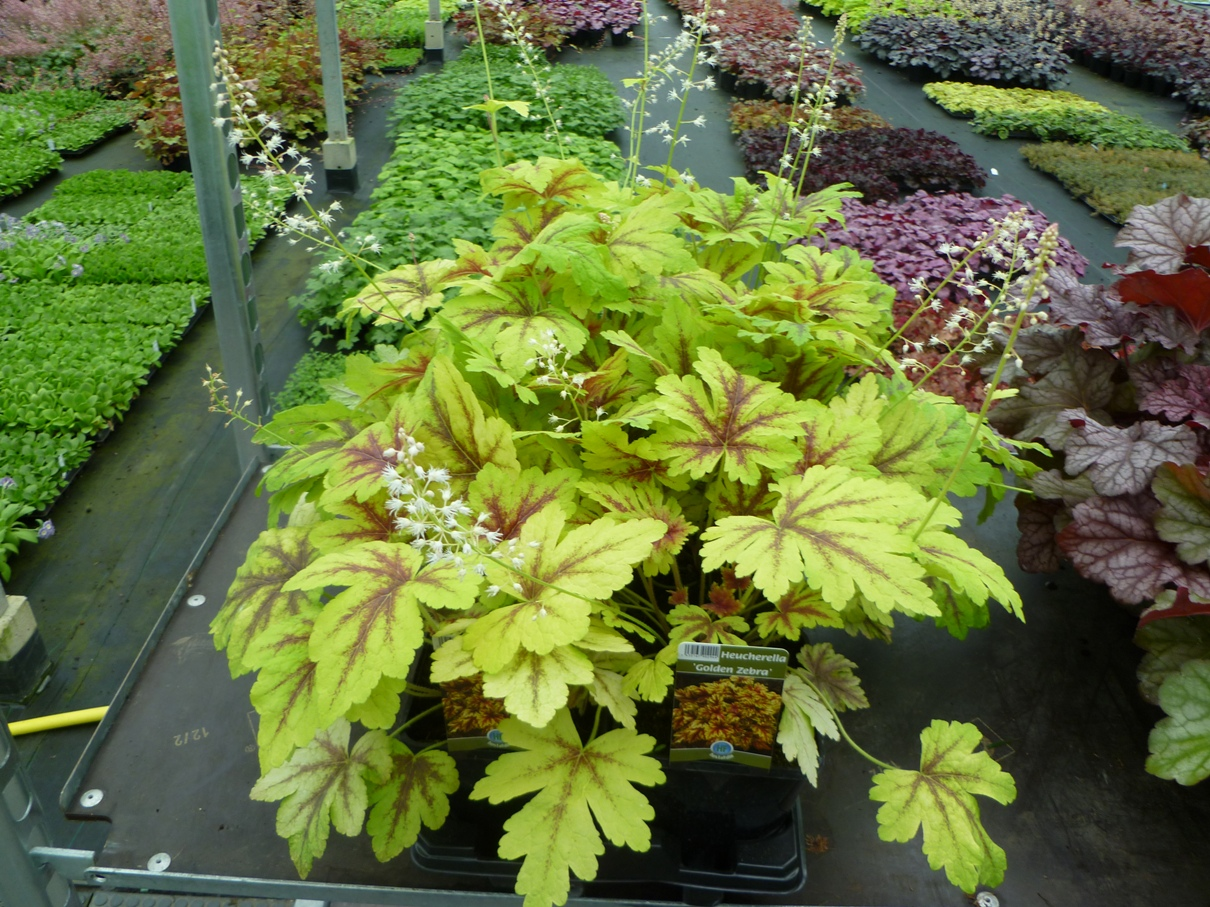 Heucherella 'Golden Zebra' 1.5 L